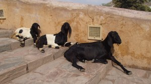 The cutest goats in the world!!!